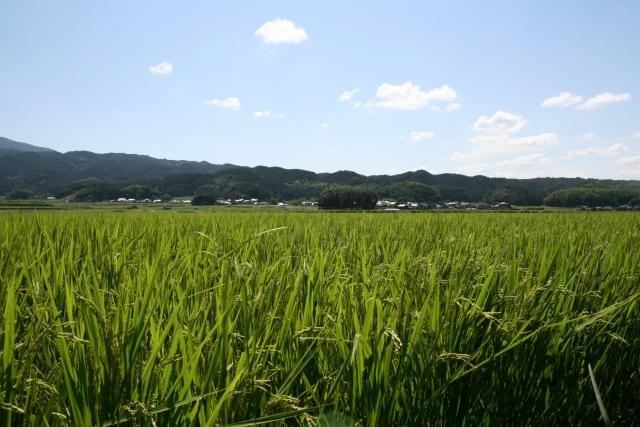 寒北斗山田錦20080806.JPG